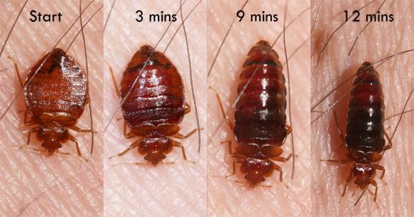 bed-bug-feeding-Whitney-Cranshawb