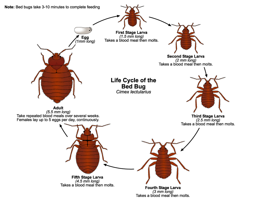 Bed Bugs Fact Sheet Nyc